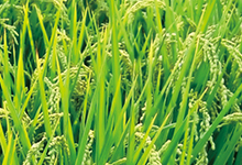 需求改善 本周印度大米出口价格反弹
