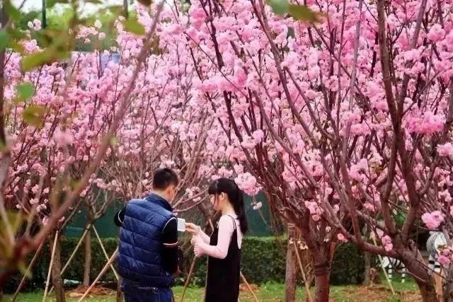 大观园春节一大波福利来袭,樱花、恐龙展、千亩花海一应俱全!