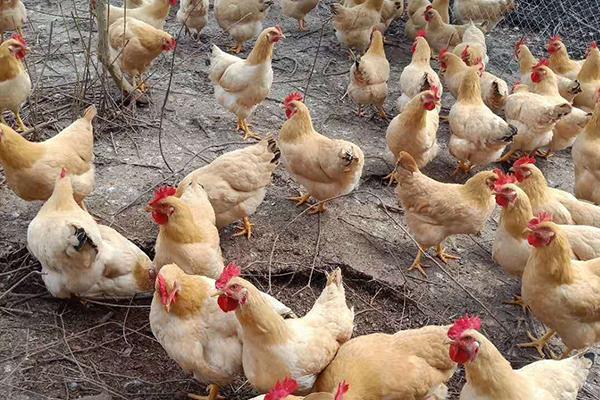"""小狐科技X普赞农业:用科学的方法,养一只没有""""体味""""的鸭"""